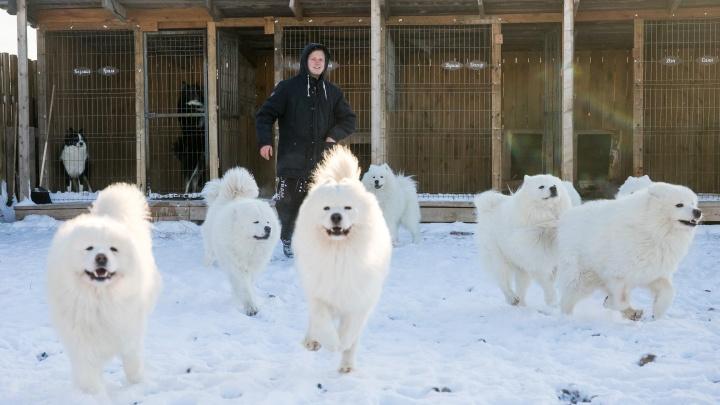 «Мы возвращаем собакам былую мощь»: красноярец собрал упряжку самоедов