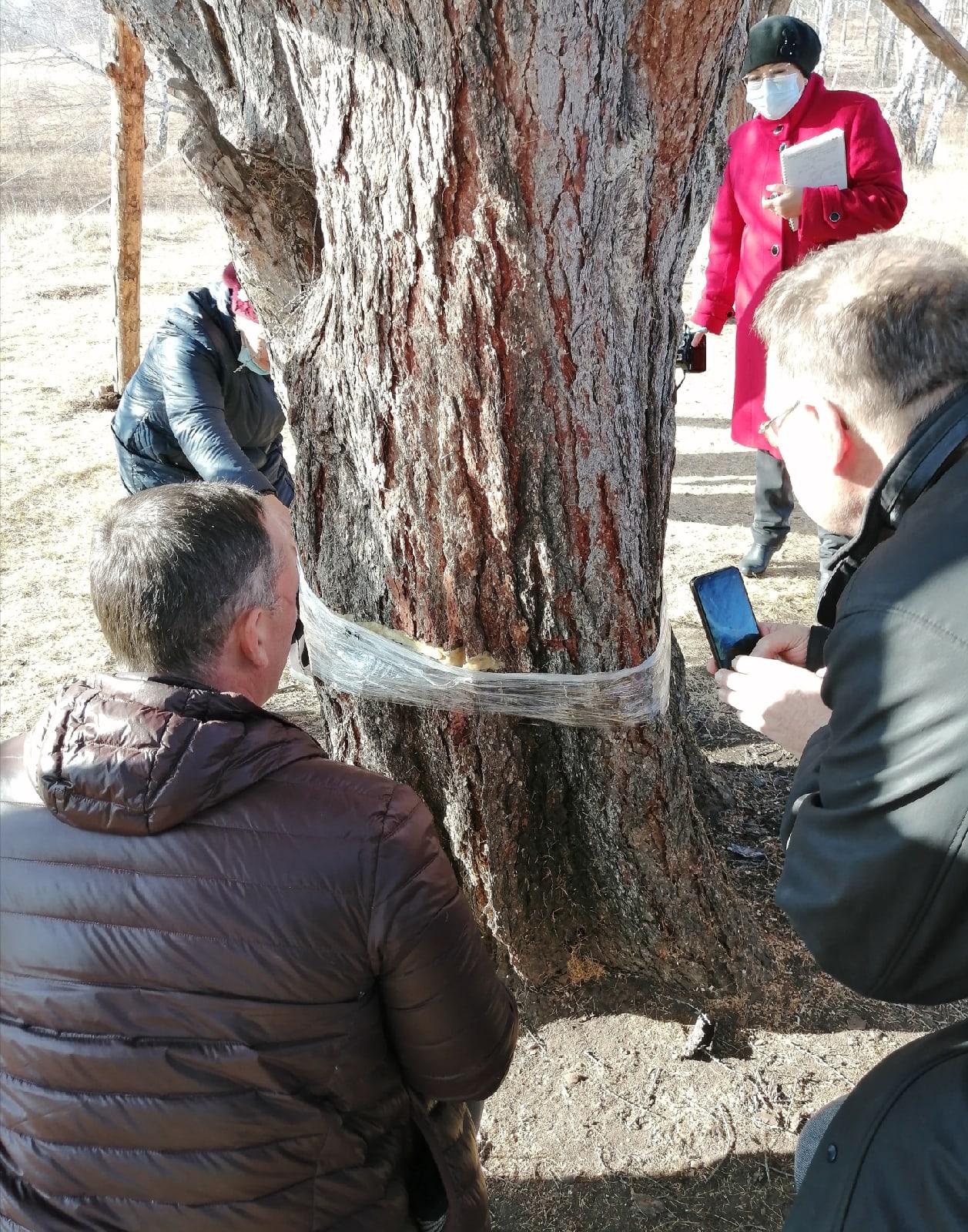 Пропилы замазали садовым варом и замотали пищевой пленкой, чтобы зимой поврежденные ткани дерева не замерзли