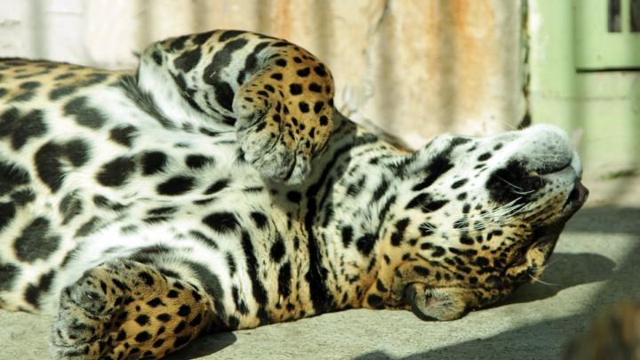 Побудьте в их шкуре: как питомцы екатеринбургского зоопарка переживают тридцатиградусную жару