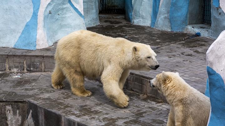 Белые медведи по расписанию: Новосибирский зоопарк возобновил трансляции из вольеров с животными