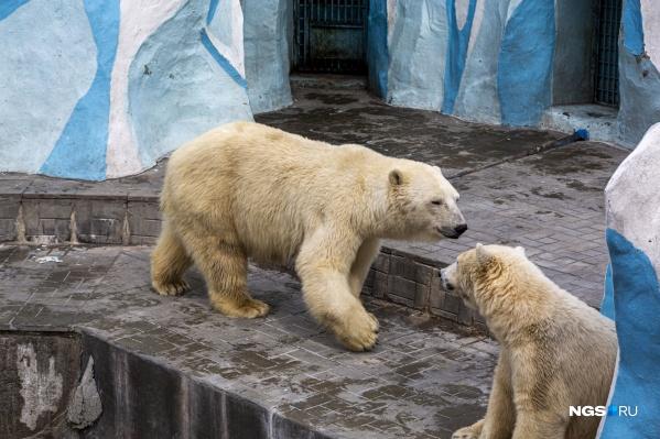 Кроме медведей, можно будет посмотреть кенгуру, белых тигров, колобусов и орангутанов