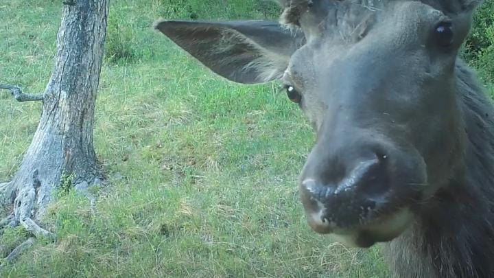 Медведи — самые любопытные: милое видео с фотоловушек в заповеднике