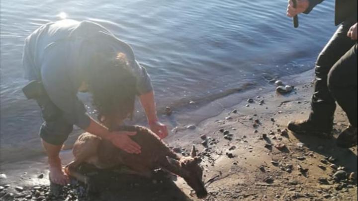 «Это трагедия»: на Таймыре северные олени гибнут от бродячих собак