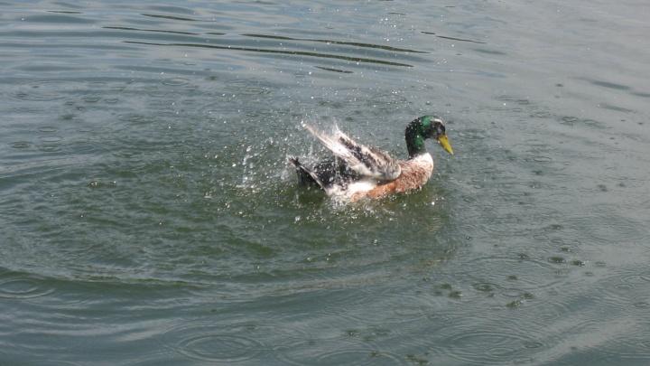 «Вода чёрно-синяя, даже утки исчезают!»: жители Кургана сообщили о сливе нечистот в водоём