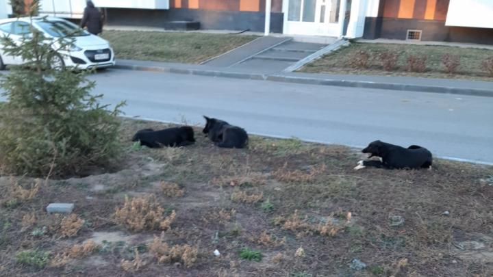 «Ночью устраивают настоящие бойни»: жилой комплекс в Советском районе Волгограда атакует стая собак