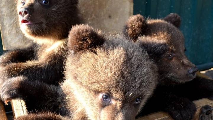 «Мамку, скорее всего, убили»: в челябинский приют привезли из Тюмени троих брошенных медвежат