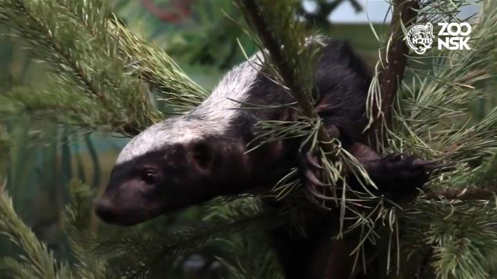 В Новосибирском зоопарке появились два малоизученных зверька — они едят мед и ядовитых змей