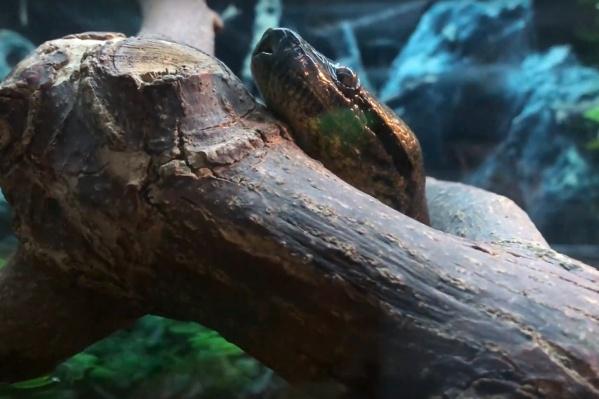 Наблюдать за анакондой интересно, но непросто — змея прячется в тени и укрытии