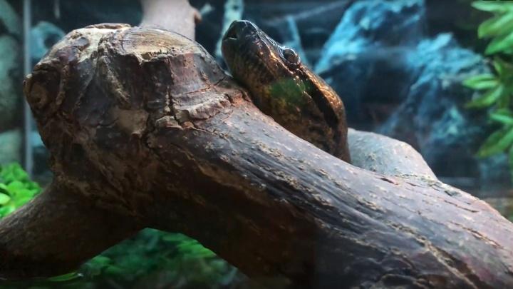 В челябинском зоопарке поселилась гигантская анаконда