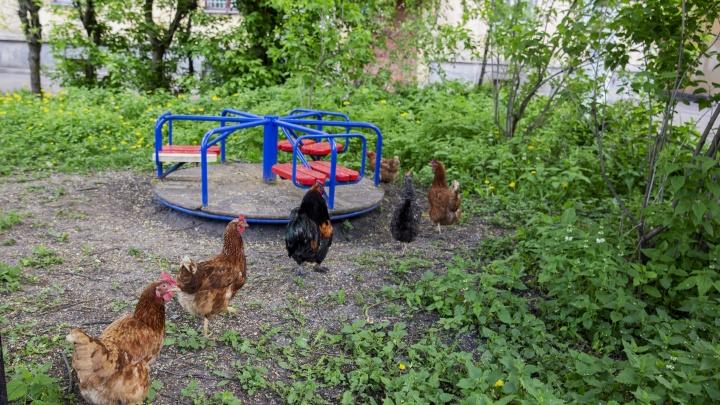 «Бандиты, скоро гопничать начнут»: на детской площадке в центре Ярославля поселились курицы