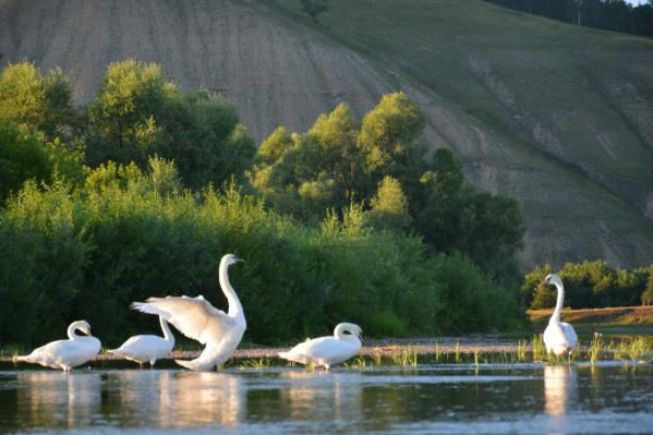 Пять лебедей теперь радуют посетителей геопарка