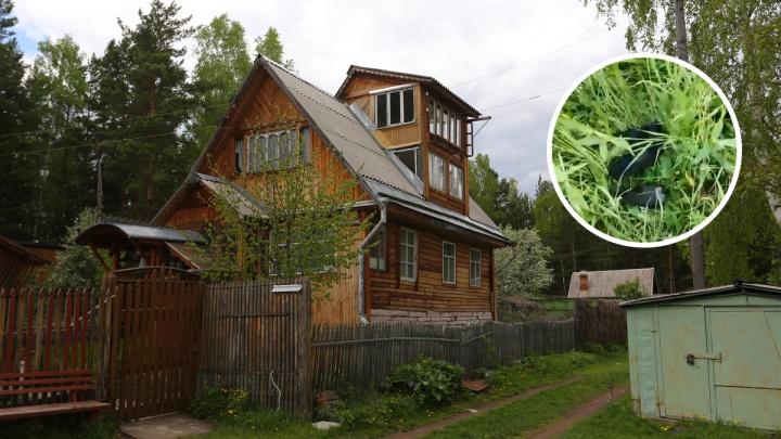 «Сыпятся, как дождь с неба»: жители поселка Балахта под Красноярском напуганы мором ворон