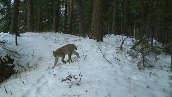 На «Столбах» успешно перезимовали рысь с тремя котятами
