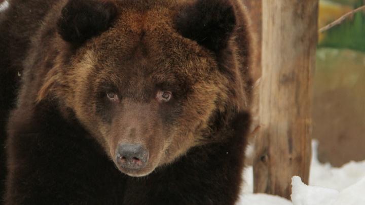 «Встреча была очень нежной»: в екатеринбургском зоопарке проснулись медведи