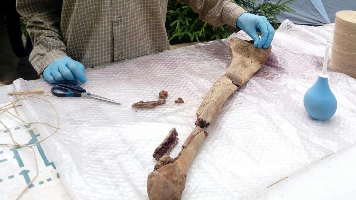 В Прикамье на раскопках трогонтериевого слона впервые нашли малую берцовую кость