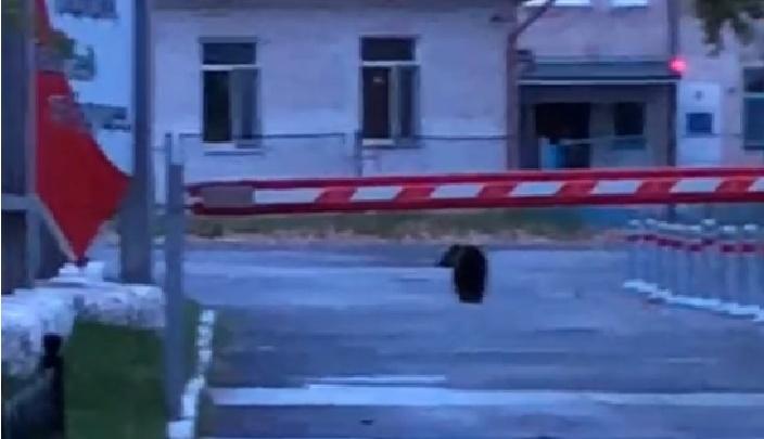 «На работу ходить страшновато»: на Урале местные жители сняли, как у детского садика бродит медведь
