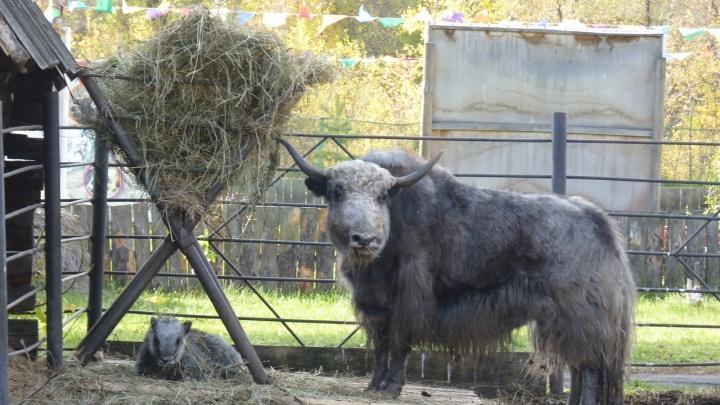 В Большереченском зоопарке родился маленький як