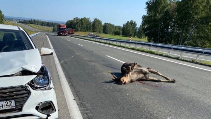 Водитель сбил лося на скоростной кузбасской трассе