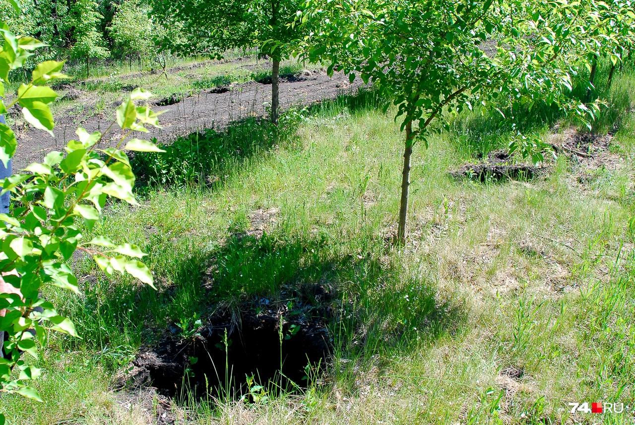 От дерева остаётся вот такая лунка: специалисты следят, чтобы при копке не оставалось больших корней
