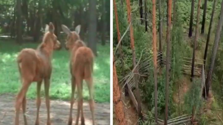 Из Новосибирского зоопарка в природу выпустили двух лосей — смотрим трогательное видео