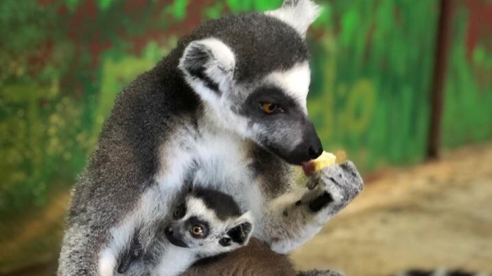 В пермском зоопарке у лемуров Дарины и Чижика родился малыш. Ему выбирают имя