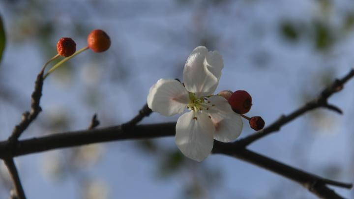 Это неправильная осень: в Екатеринбурге из-за стресса зацвела яблоня