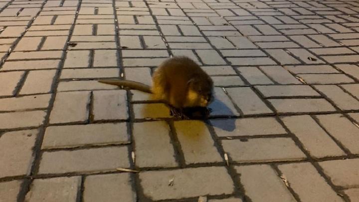 Ондатру, которая испуганно бегала по центру Екатеринбурга, вернули в водоем