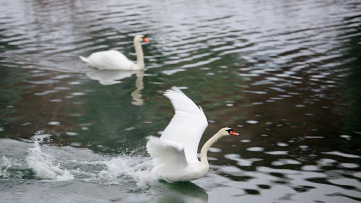 Лебединое озеро: любуемся белоснежными шипунами на уфимском пруду