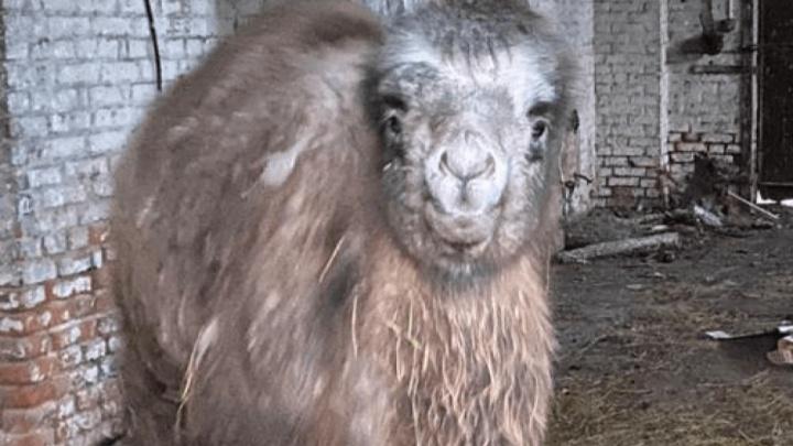 Полиция спустя полгода нашла похищенного из донского заказника верблюжонка. Он здоров и избалован