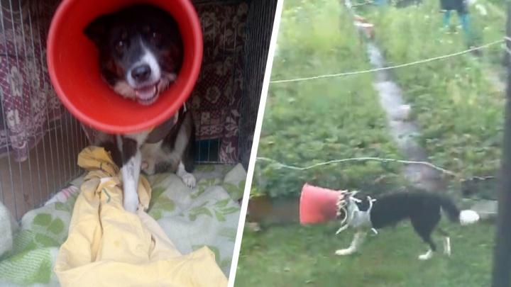 В Перми потерялся пес без лапки. На голове у него красное ведро, чтобы не лизал раны