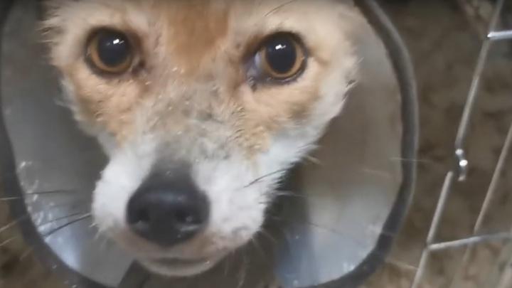 «Люся уже не короста!»: в приюте «Мата-мата» показали преображение больной лисицы