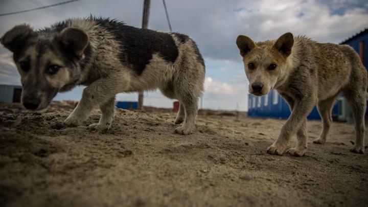 Ловцов собак в Новосибирске обвинили в гибели животных от наркоза — что они ответили