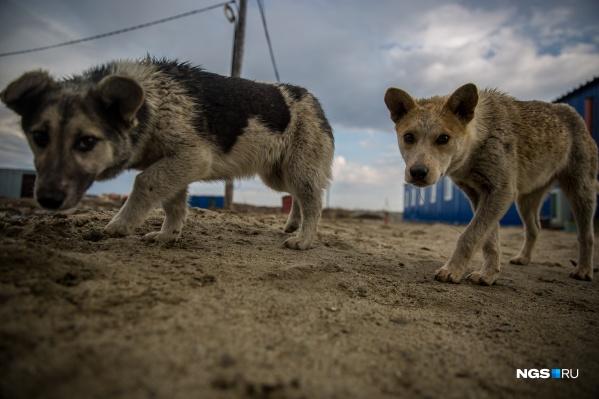 Сейчас в Новосибирске бездомных животных отлавливают, стерилизуют, вакцинируют и отпускают