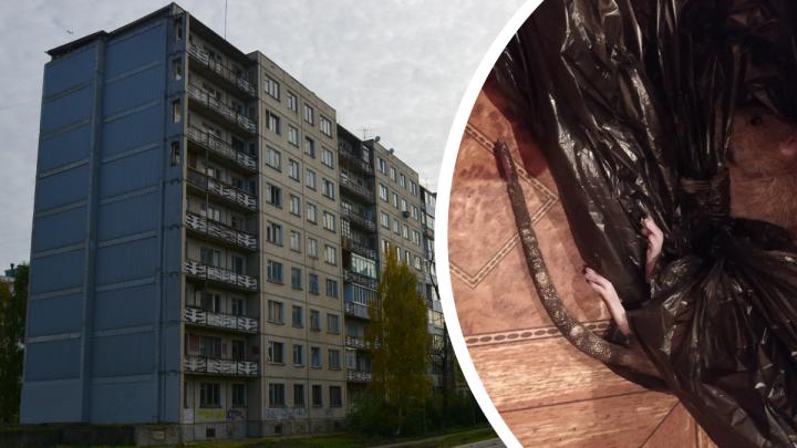 «Сидит и грызёт бутылочку для молока»: в Архангельске крыса заползла в кроватку к младенцу