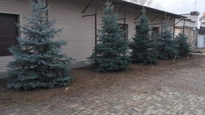 В Волгограде обнаружили выкопанные в Горсаду голубые ели