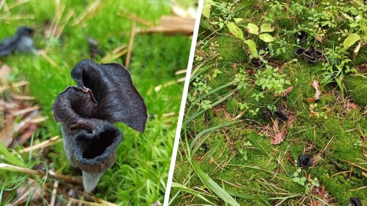 Новосибирец нашёл странный чёрный гриб. Во Франции его называют «трубой смерти», а в Англии — «рогом изобилия»