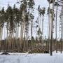 Челябинцы пожаловались на массовую вырубку деревьев в городском бору