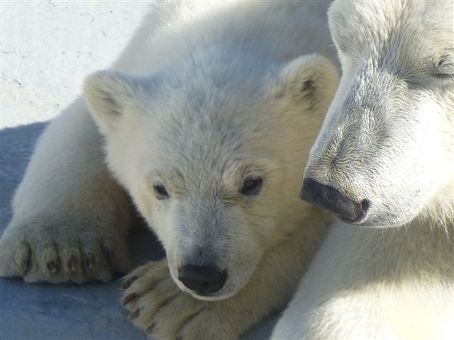 Хаарчаана с мамой. Фото якутского зоопарка«Орто-Дойду» с сайта zoo.ykt.ru
