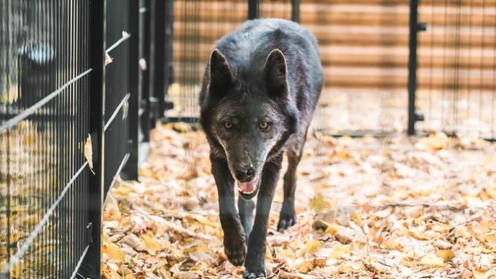 Пара волчиц и медвежья семья переехали из «Мишутки» в Балахну
