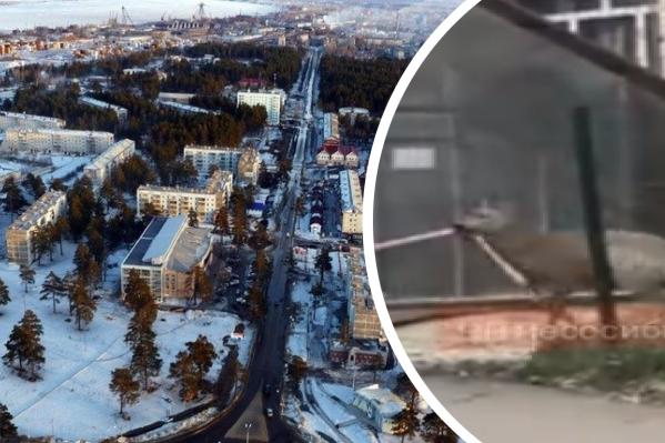 Очевидцы сняли кадры, как животное мечется по городу