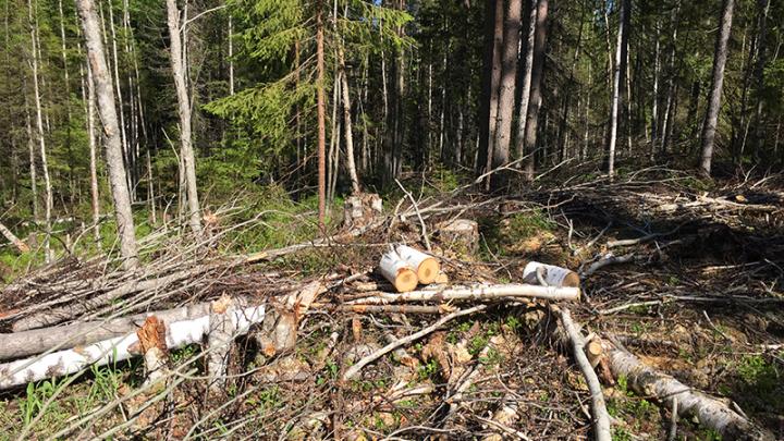 Бизнесмена из Онежского района подозревают в вырубке леса на 163 тысячи рублей