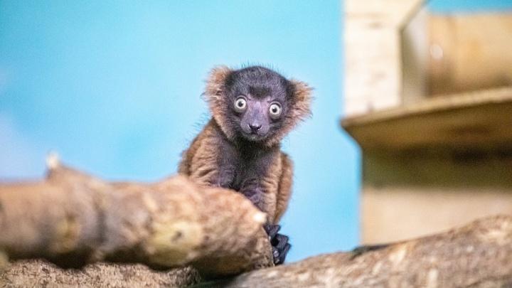 Сотрудникам Новосибирского зоопарка пришлось выкармливать малыша лемура вари — посмотрите, какой он милый!