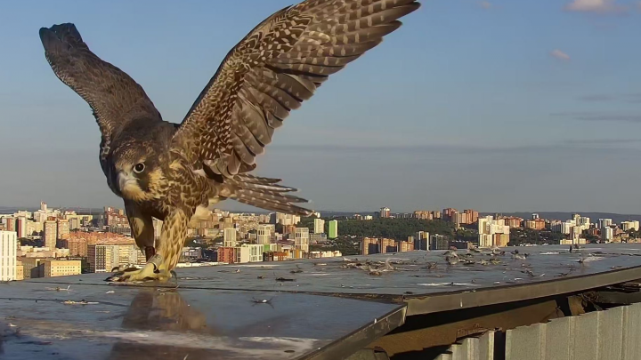 Орнитологи Уфы показали повзрослевших сапсанов, которые живут на крыше банка «Уралсиб»
