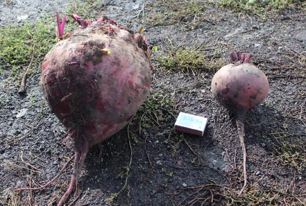Осужденные кузбасской колонии вырастили гигантскую свеклу. Ее хватит на 15 борщей