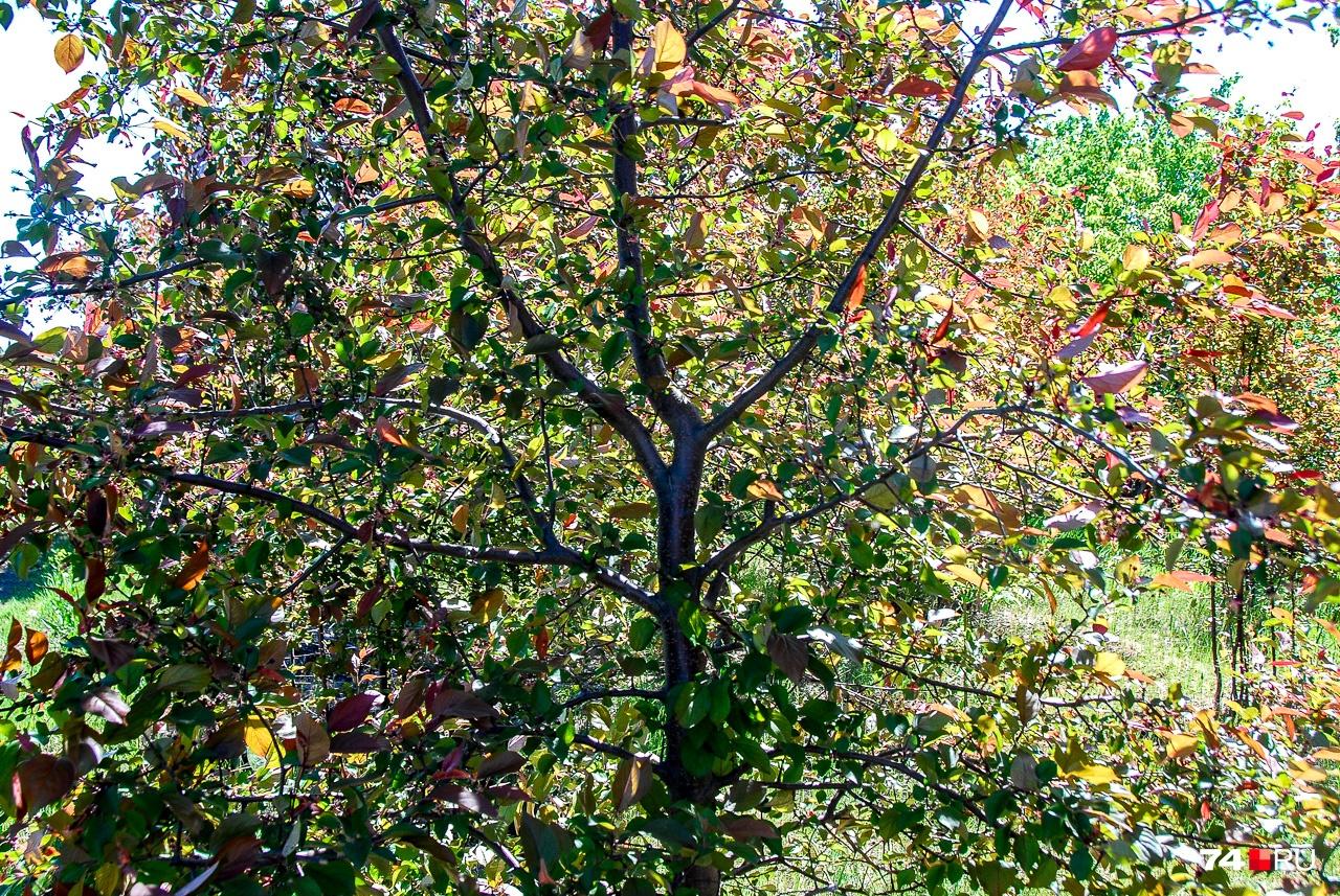 На этом снимке — краснолистая яблоня Недзведского с хорошо видимым стволом и сформированной кроной. Для этого используется подрезка веток, но выполнять её должен специалист, а не просто дядя с бензопилой