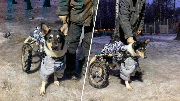 Уникальному псу-колясочнику из Красноярска из-за пандемии отложили операцию