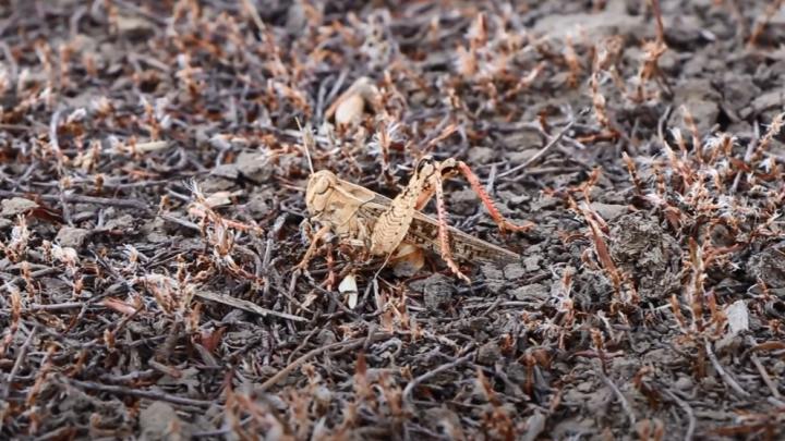 «Итальянский прус в стадной фазе размножения»: волгоградцев привлекли к борьбе с саранчой