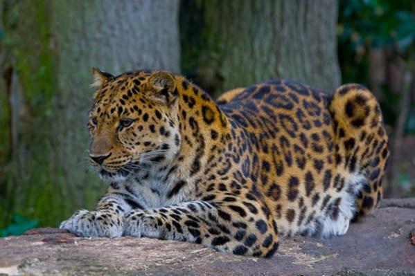 Дальневосточные леопарды находятся на грани вымирания