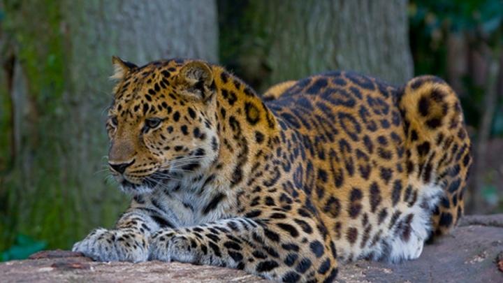 В Новосибирский зоопарк привезут самца самого редкого леопарда