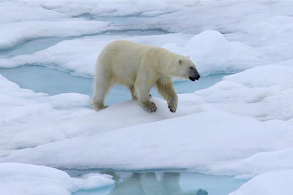 Для того чтобы следить за животным миром, ученые установят на островах «Русской Арктики» более 20 фотоловушек